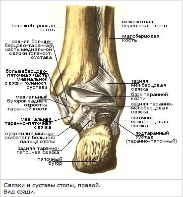 Связки и суставы стопы почему щелкает коленный сустав у ребенка