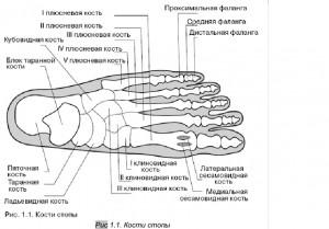 рис1.1 Кости стопы